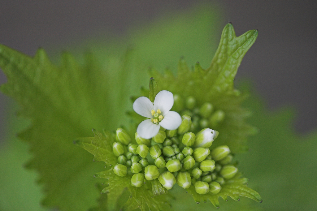 https://mitppc.umn.edu/sites/mitppc.umn.edu/files/garlic-mustard-header.jpg