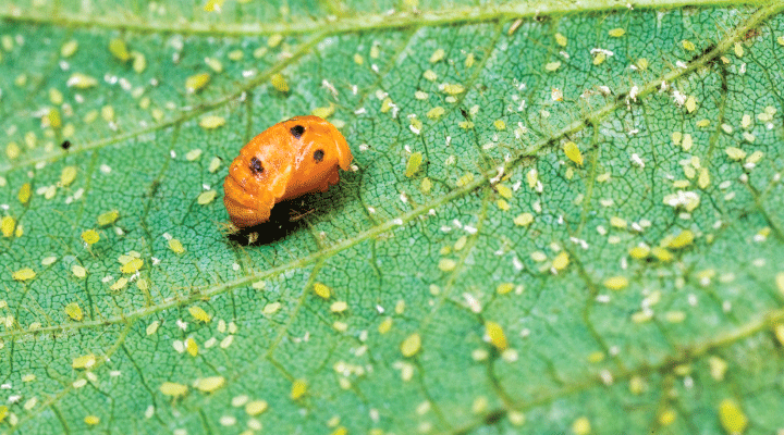 https://mitppc.umn.edu/sites/mitppc.umn.edu/files/soybean-aphid-header.png